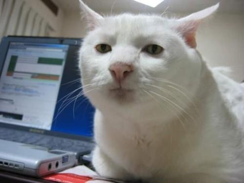 гипер-серьезный кот