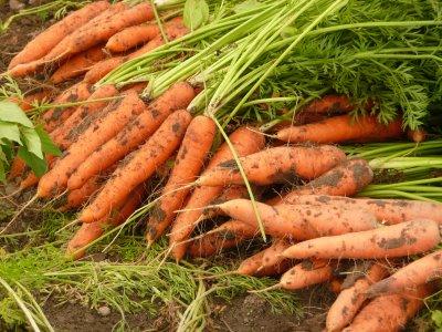 Органические морковки