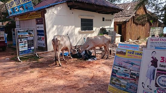 Коровы едят на мусорке в Камбодже